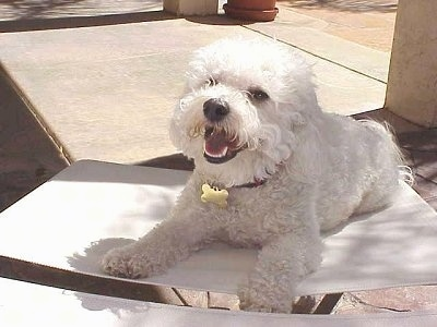 Princess the Bichon Frise laying in a white chair with her mouth open and looking happy towards the camera