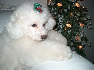 Madyson the Bichon Frise leaning against the arm of a chair next to a Christmas tree