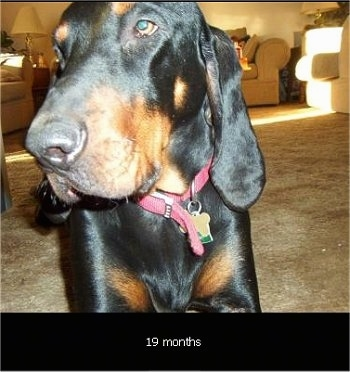 Close Up - Cooper the Black and Tan Coonhound standing looking to the right in a living room