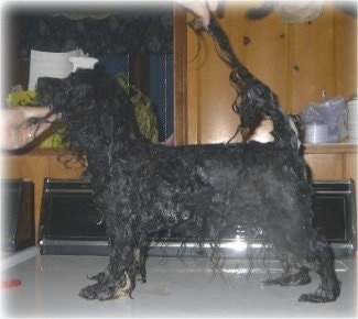Left Profile - A wet black dog is standing across a washing machine. A hand is on the dogs chin and there is another hand holding its tail up.