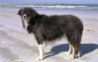 Meg UD the Border Collie standing on the beach with water in the background