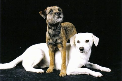 A brown with black and white Border Terrier is standing over top of a white Tibetan Spaniel in front of a black back drop