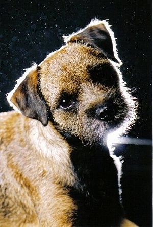 Border Terrier dog wallpaper