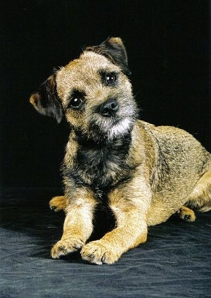 Border Terrier dog confusing look