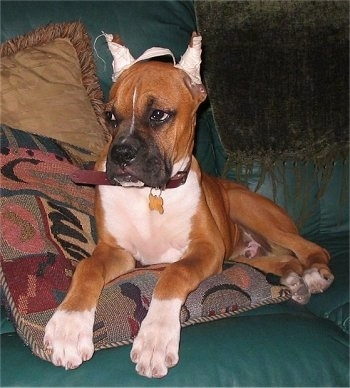 Skipper the Boxer puppy laying on a green leather couch on top of a pillow with white tape on its ears