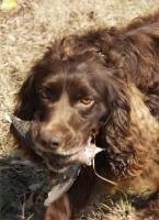 Close Up - Gus the Boykin Spaniel walking through a yard with a dead animal in his mouth