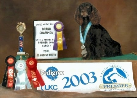 Gus the Boykin Spaniel standing on a podium with a backdrop and a lot of awards and ribbons next to him