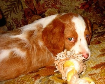 Chewie the Brittany Spaniel puppy laying on a couch chewing a rope toy