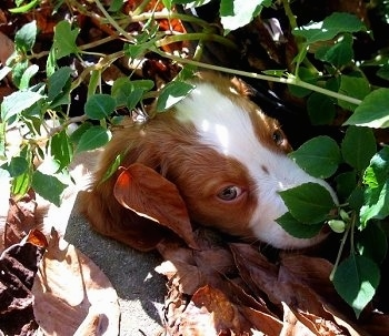 Close Up - Chewie the Brittany Spaniel Puppy hiding in a pile of leaves