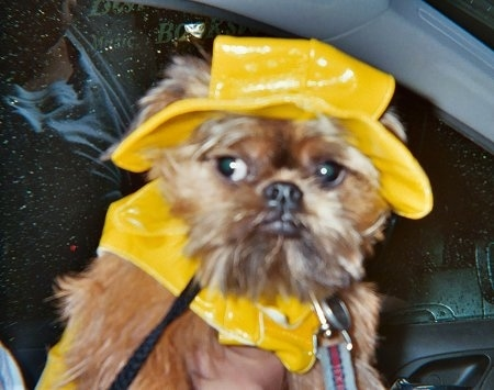 Busty Siegel the Brussles Griffon is wearing a shiny yellow raincoat and hat. She is being held in the front seat of a car by a person