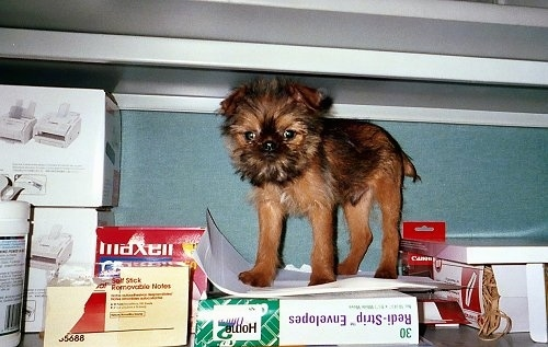 A tan and black Belgian Griffon puppy is standing in a cabinet on top of office supplies