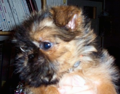 Close Up - A small tan and black fluffy Belgian Griffon puppy is being held up in the air by a person in front of a bookshelf.