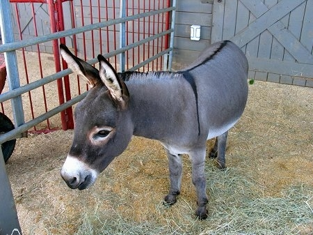 A donkey is standing in hay. Its head is level with its body and it is looking forward in front of a gray barn.