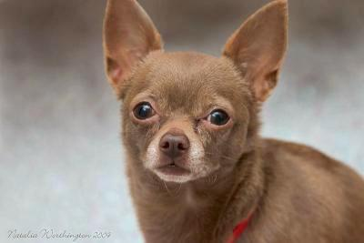 Close Up - A brown Chihuahua is looking to the camera holder. The Words - Natalia Washington 2009 - are overlayed