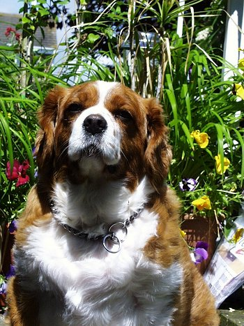Charlie the Cavalier King Charles Spaniel puppy is sitting in front of a lot of flowers