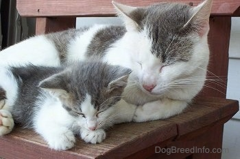 An adult gray and white cat outside taking a nap on a red wooden bench next to a gray and white kitten