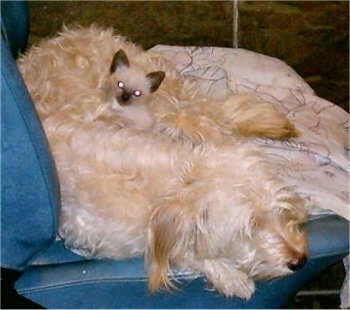 A tan Poodle mix is sleeping on a blue leather chair and a Siamese Kitten is laying on its belly