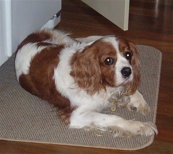 Honey the Cavalier King Charles Spaniel is laying on a mat on a hardwood floor in front of a door