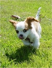Cavalier King Charles Spaniel puppy is running through grass towards the camera holder and licking its nose
