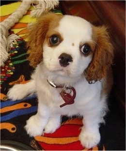 Cavalier King Charles Spaniel puppy is sitting on a rug next to a rope toy. It is looking up at the camera holder