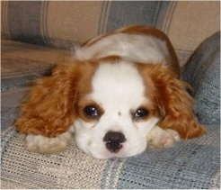 Cavalier King Charles Spaniel puppy is laying on a couch