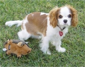 Cavalier King Charles Spaniel Puppy is standing outside next to a hedge hog plush toy