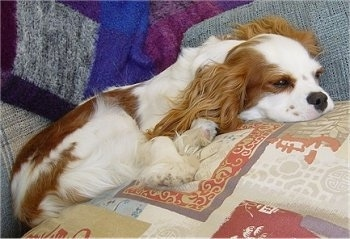Cavalier King Charles Spaniel puppy is laying on pillows on a couch