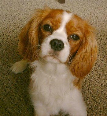 Annie the Cavalier King Charles Spaniel is laying on a carpet and looking towards the camera holder