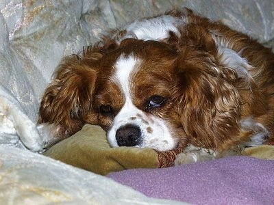 Charlie the Cavalier King Charles Spaniel puppy is laying on a couch