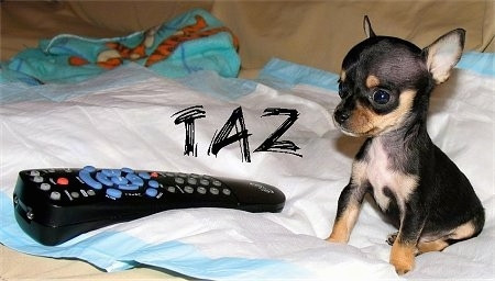Taz the Chihuahua Puppy is sitting on a pee pad. There is a Dish remote in front of it and the remote is larger than the dog. The Word - Taz - is placed on the photo