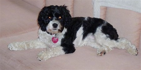 Minnie the black and white Cockapoo is laying on a couch and looking towards the camera holder