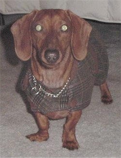 Dexter the Dachshund is wearing a silver choke chain and a brown plaid sweater