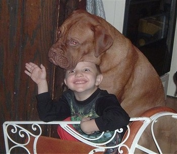Hooch the Dogue de Bordeaux is sitting behind a little boy with his had on top of him. The boy is sitting up under hooch smiling and waving