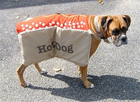 Allie the fawn and black Boxer standing outside in the road in a Hot Dog costume