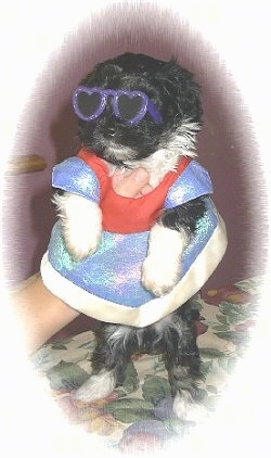 Miss Leyla the Havanese Puppy is wearing purple sunglasses and a dress. A persons hand is up the dress holding the pup up in the air