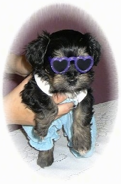 Wally the Havanese Puppy is wearing purple glasses with Blue pants and a white shirt. It is being held in the air by a person