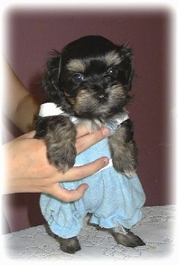 Wally the black and tan Havanese puppy is wearing blue trousers being held up on a table.