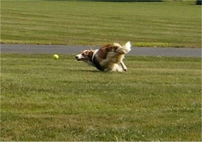 Action shot - A brown and white with black Scotch Collie is running after a green tennis ball in a field.