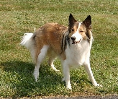 Front side view - A brown and white with black Scotch Collie is standing on grass and it is looking forward. Its mouth is slightly open and the dog looks playful.