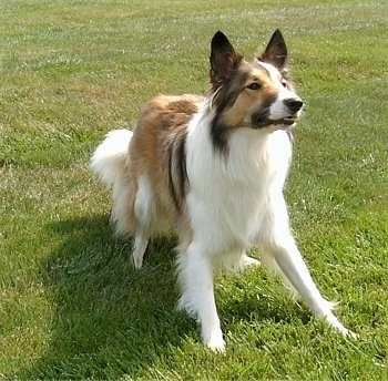 A brown and white with black Scotch Collie dog is beginning to kneel in grass, it is looking up and to the right. It looks like it is preparing to grab an item out of the air.
