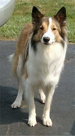 Front view - A pointy perk eared, brown, tan and white Scotch Collie dog is standing on a driveway and it is looking forward.