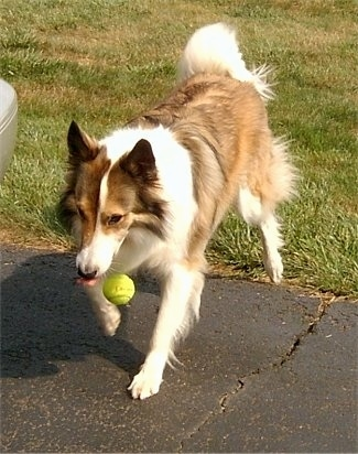 A brown and white with black Scotch Collie is walking on to a driveway and it is dropping a green tennis ball.