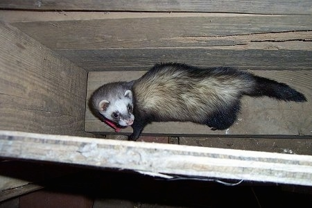 A tan, white and black ferret is standing on a wooden hay holder box inside of a barn looking up and to the right.