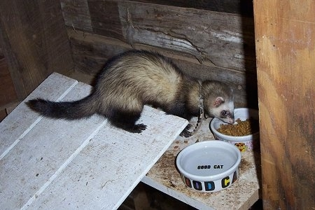 A ferret is standing on a wooden plank and it is eating cat food out of a ceramic bowl. There is a water bowl next to it.