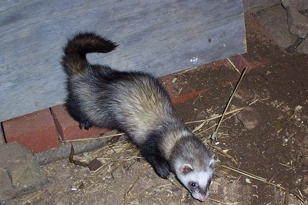 A Ferret is walking down a dirt surface with its back legs on bricks. There is a wooden board behind it.