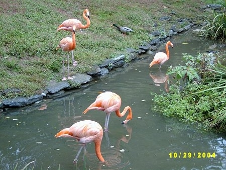 Three Flamingos standing in water with two flamingos standing water side