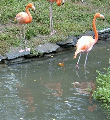 Flamingo standing in water with two flamingos standing water side