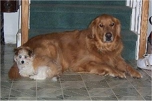 A Golden Retriever is laying in front of a staircase with a tan with white Havanese puppy laying at the back side of it