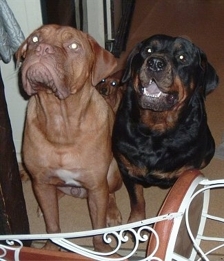 A brown with white Dogue de Bordeaux is sitting next to a black and tan Rottweiler who has its mouth open showing its black tongue. There is a tiny brown dog sitting behind them in front of a chair
