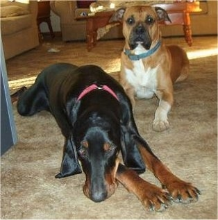 A black and tan Coonhound dog is laying down on a tan carpeted floor with a tan with white Boxer behind it in a living room.